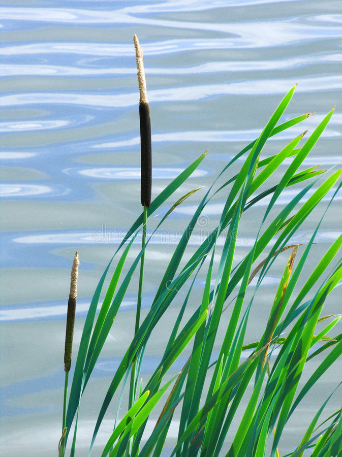 Download Reeds stock photo. Image of wild, plant, pond, reeds, brown - 211322