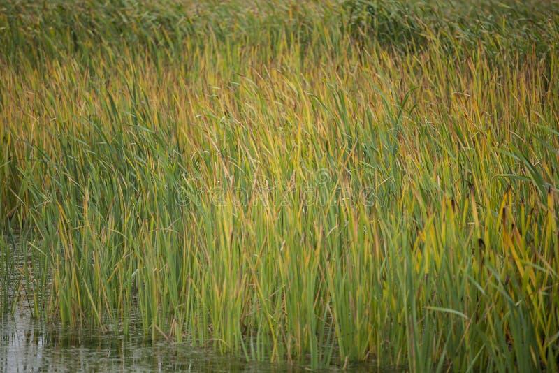 Download Reeds stock image. Image of reed, season, natural, botanical - 27525065