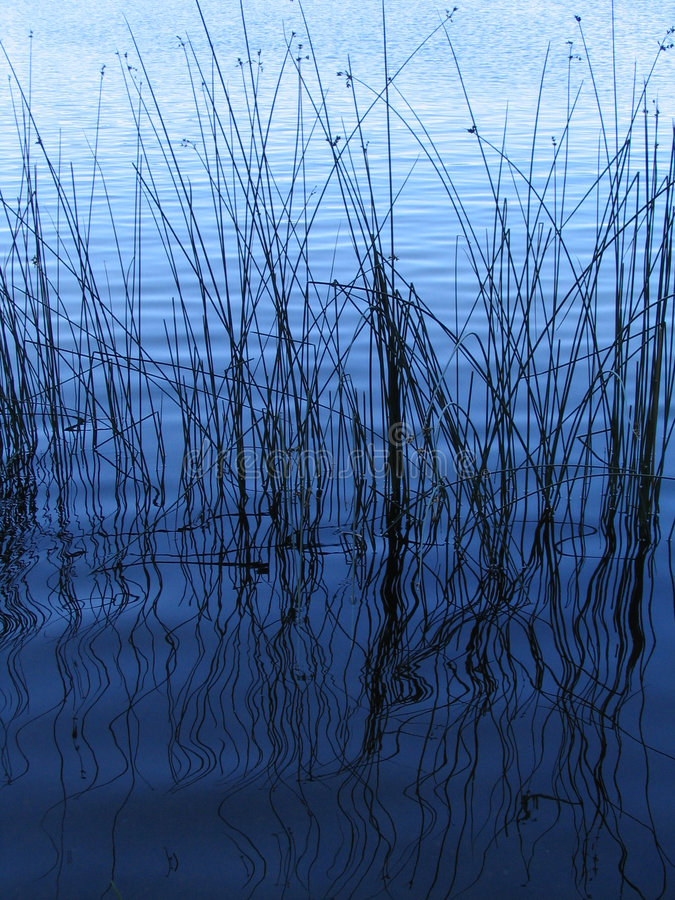 The Reeds. Reeds and its reflections in peaceful Green Lake in Seattle royalty free stock images