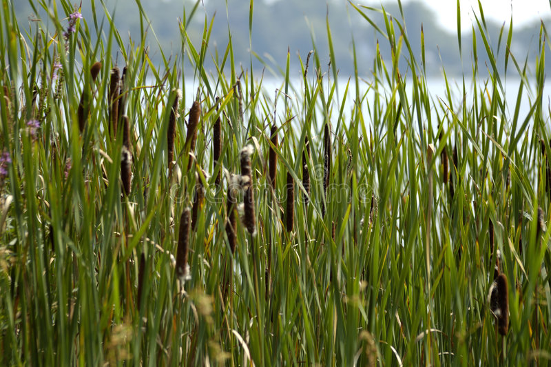 Reeds royalty free stock photo