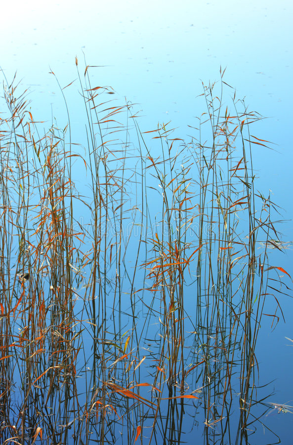 Reeds. In the autumn lakes royalty free stock photo