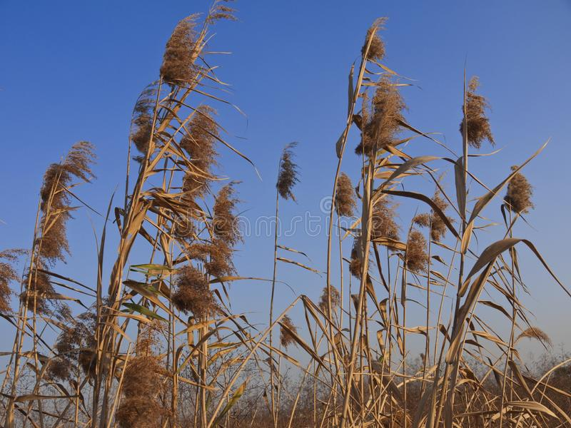Reeds in autumn sunset. Reeds by the water at autumn sunset stock photo