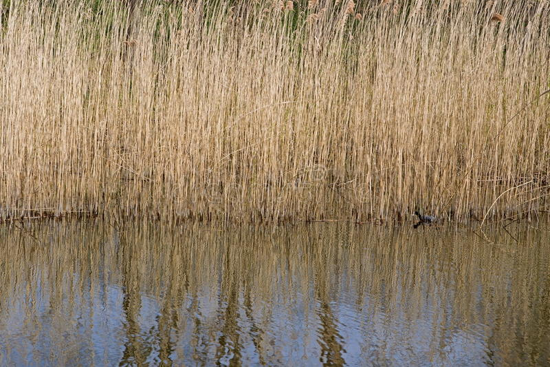 Reeds on the banks of the lake in Anna's Farm on the outskirts of Hilversum. Oost, Netherlands royalty free stock images