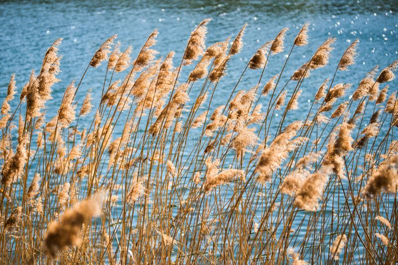 Reeds blowing in the wind along river bank in countryside. Background stock photos