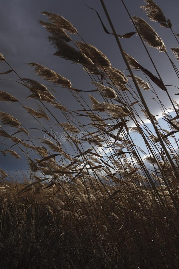 Reeds, bulrush, against cloudy sky. Autumn landscape royalty free stock photos