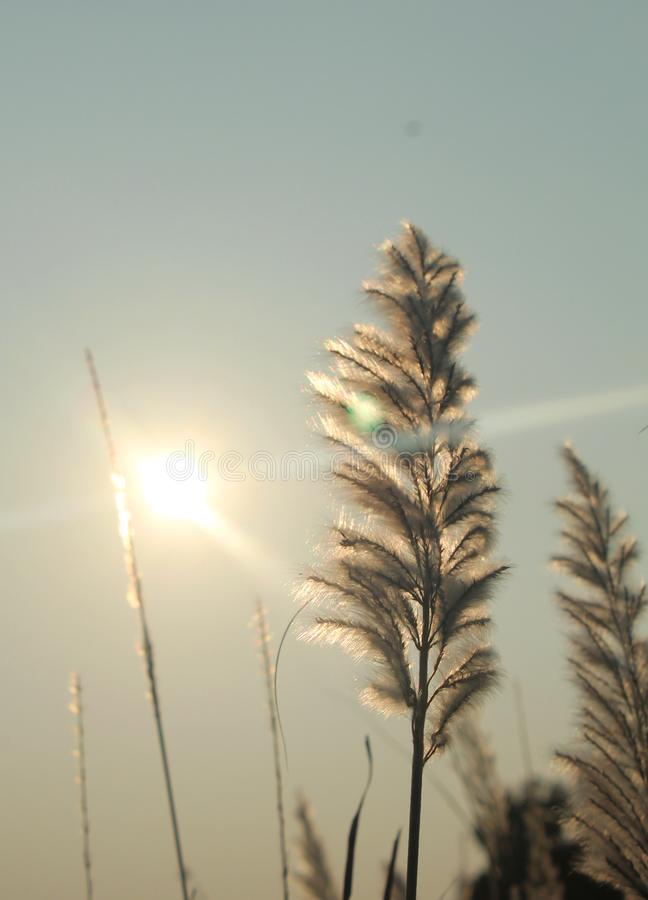 Reeds closeup with sunset lighting. royalty free stock images