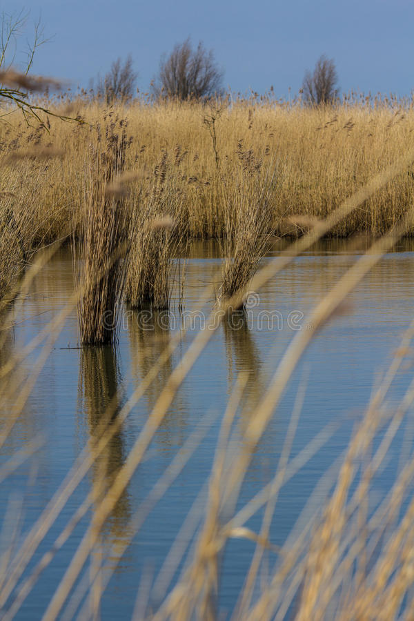 Reeds coming out of the water. Golden reed beds in a marshland stock images