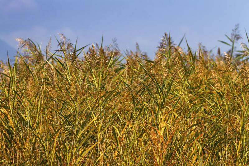 Reeds field background. By beautiful blue day royalty free stock photos