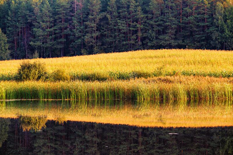 Reeds and forest reflection on water surface stock image