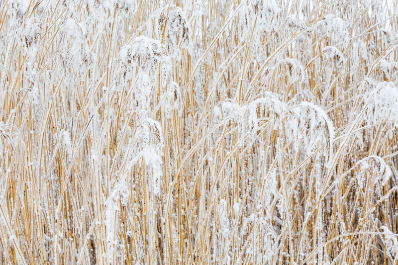 Reeds with frost royalty free stock photography