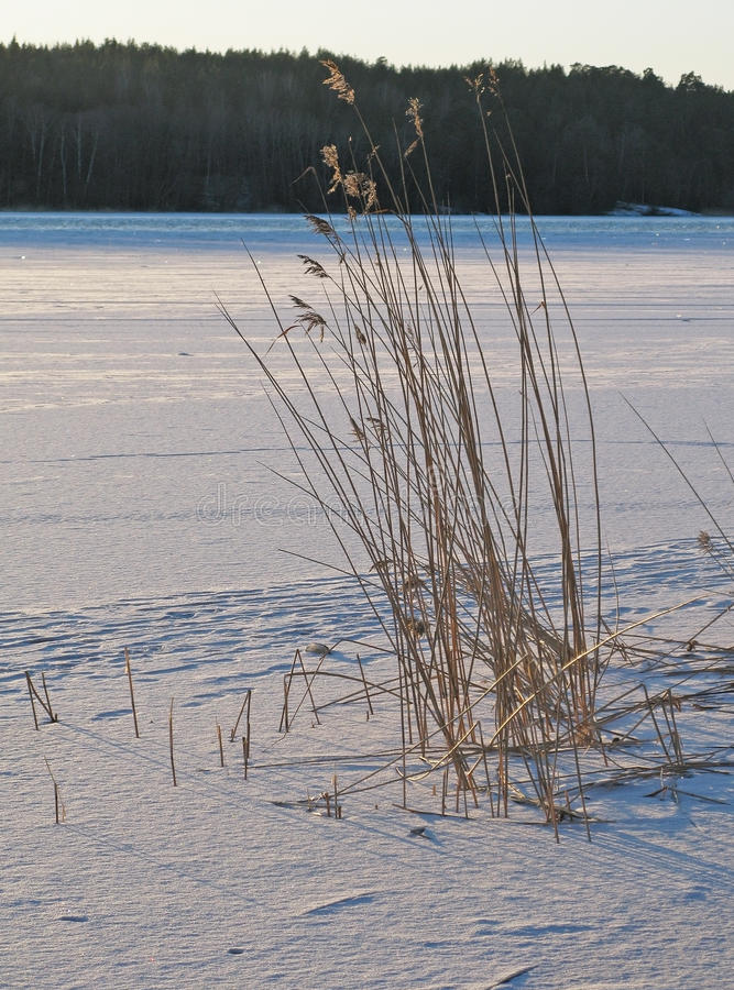 Reeds in frozen snowy lake royalty free stock photography