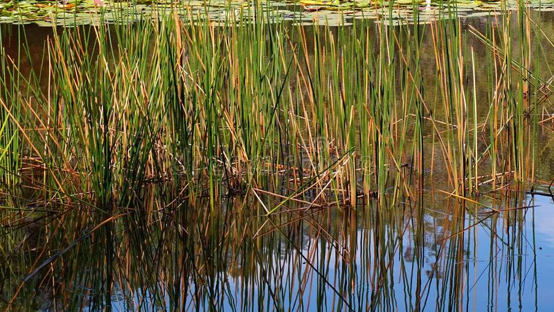 Reeds Growing in Pond stock photos