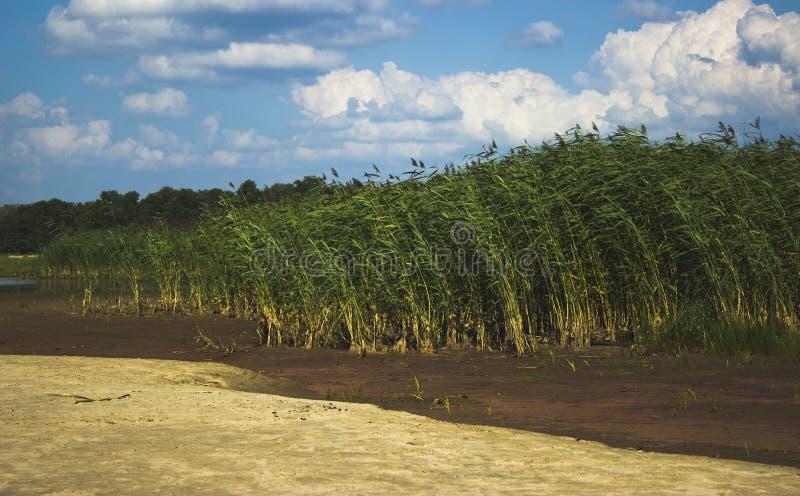 Reeds royalty free stock photos