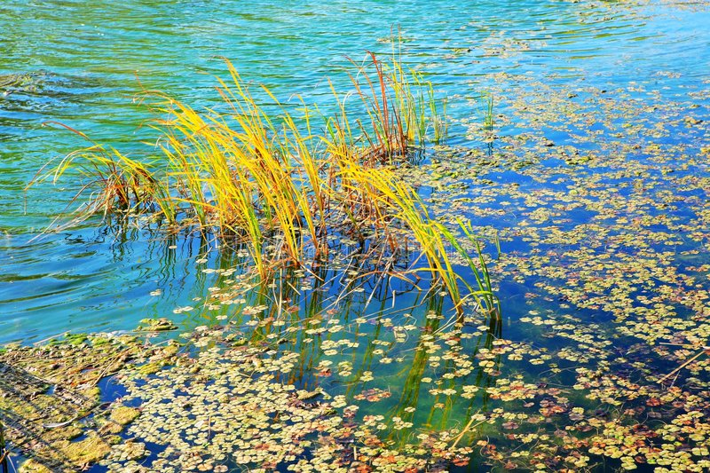 Reeds in the lake. The yellow reeds in the lake, present a beautiful autumn picture stock photos