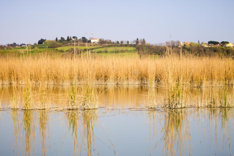 Reeds. In the lake montepulcianoSiena, italy. Canneto all`interno del lago di montepulciano SI stock photos