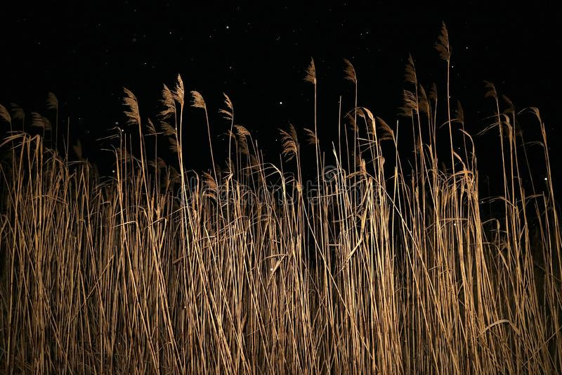 Reeds on the lake at night in winter and falling snow background. stock photo