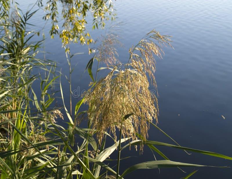 Reeds by the lake. Pragmites australis sead head in autumn stock photos