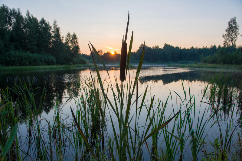 Reeds in lake royalty free stock images