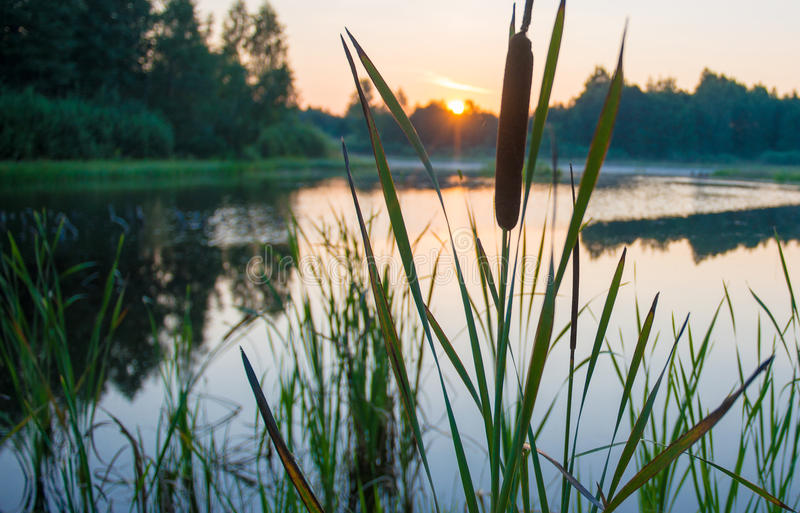 Reeds in lake stock photo