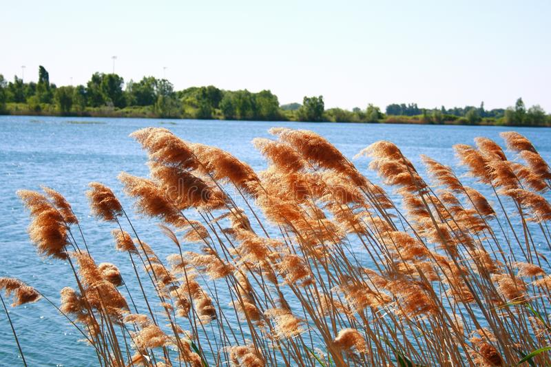 Reeds on lakeside. Reeds on windy lakeside outdoors royalty free stock photography