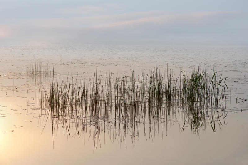Reeds in morning. Reeds in small lake on beautiful morning stock image