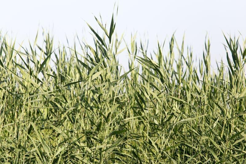 Reeds in nature stock photos