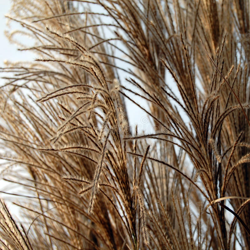 Reeds. The part of reeds in the nature royalty free stock images