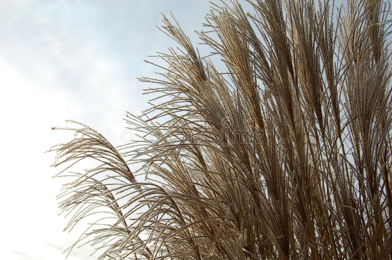 Reeds. The part of reeds in the nature stock photography