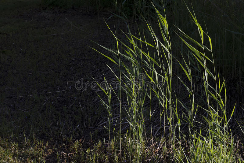 Reeds Phragmites royalty free stock image