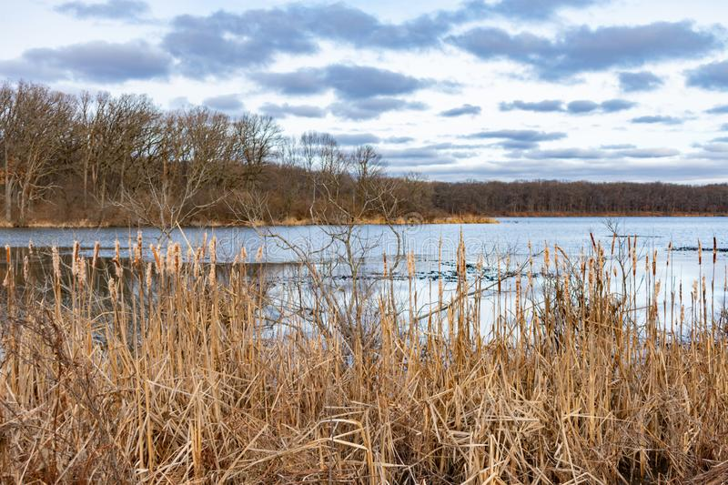 Reeds by a Pond in a Forest during Winter in Suburban Willow Springs Illinois royalty free stock image