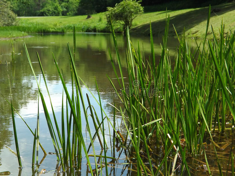 Reeds and Pond. Reeds in an old gristmill pond located on the Blue Ridge Parkway, Floyd County, Virginia, USA royalty free stock photography
