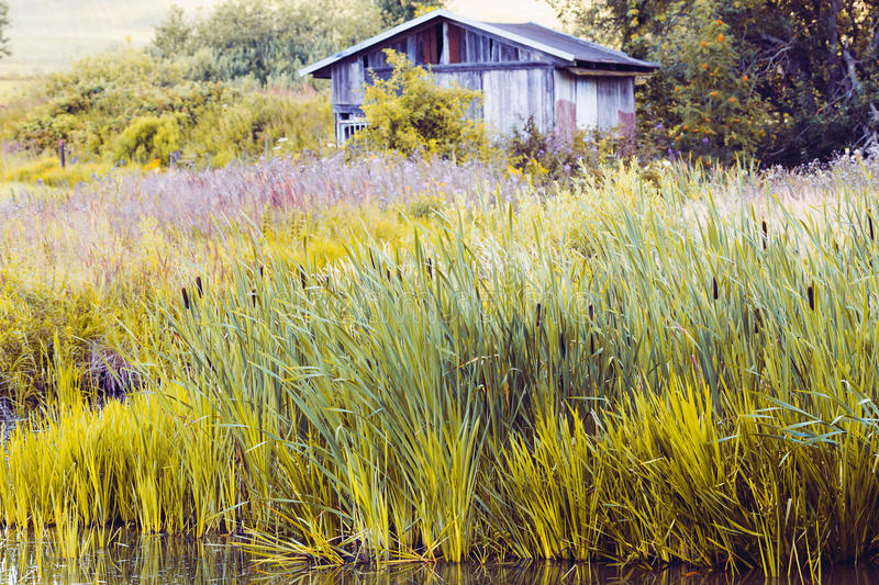 Reeds at the pond in summer. With Typha angustifolia & x28;also lesser bulrush, narrowleaf cattail or lesser reedmace& x29 stock photography