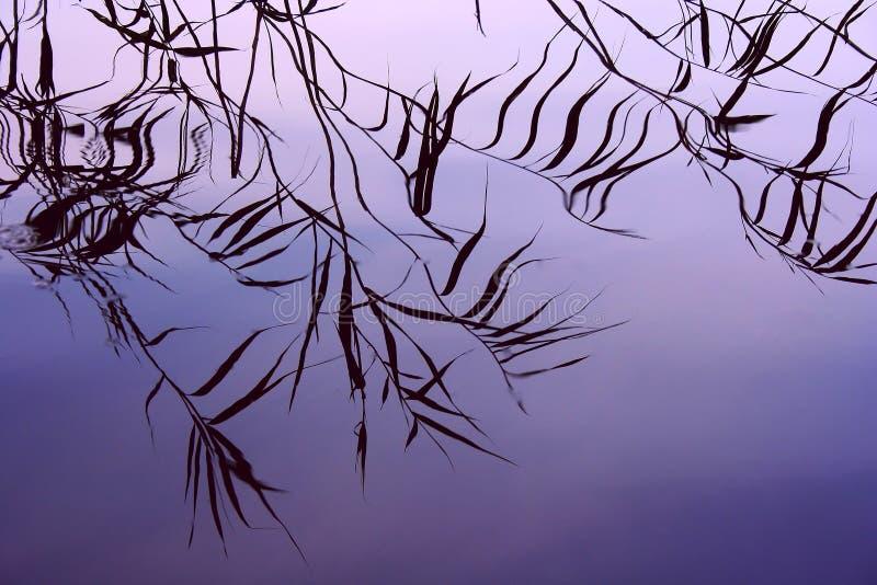 Reeds reflection background stock photo