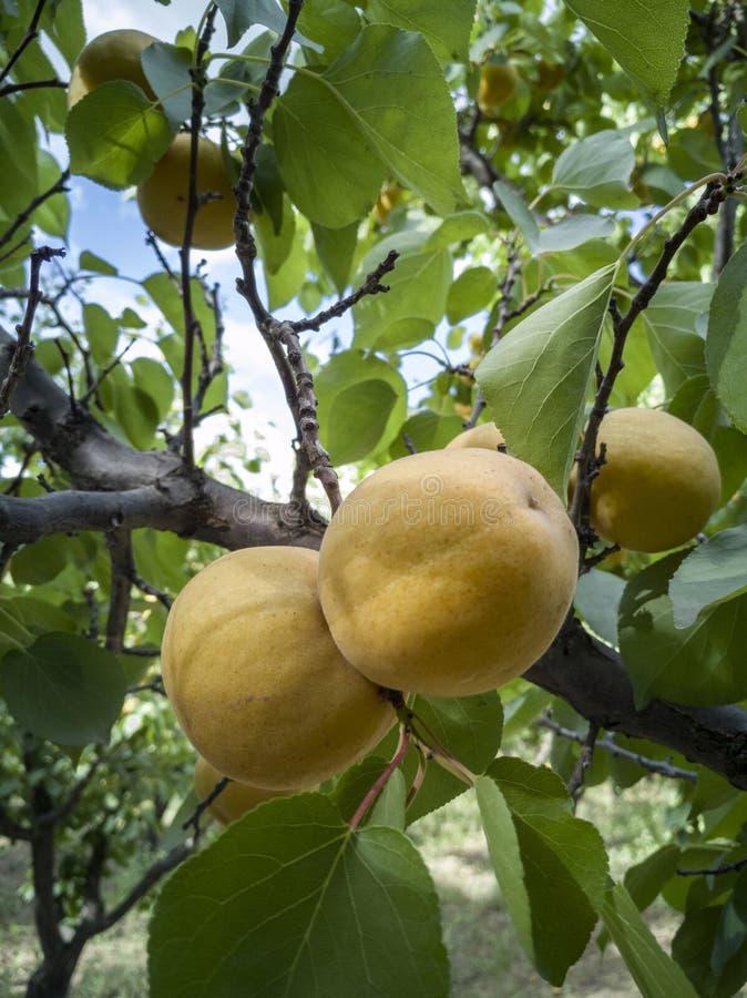 Reeds rijpe abrikoos stock foto's