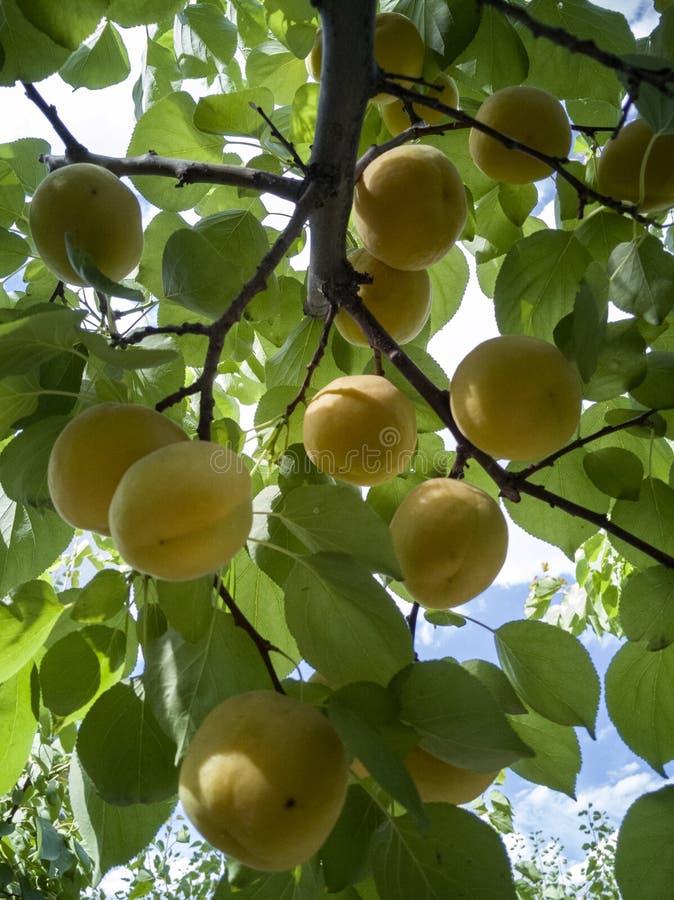 Reeds rijpe abrikoos royalty-vrije stock foto's