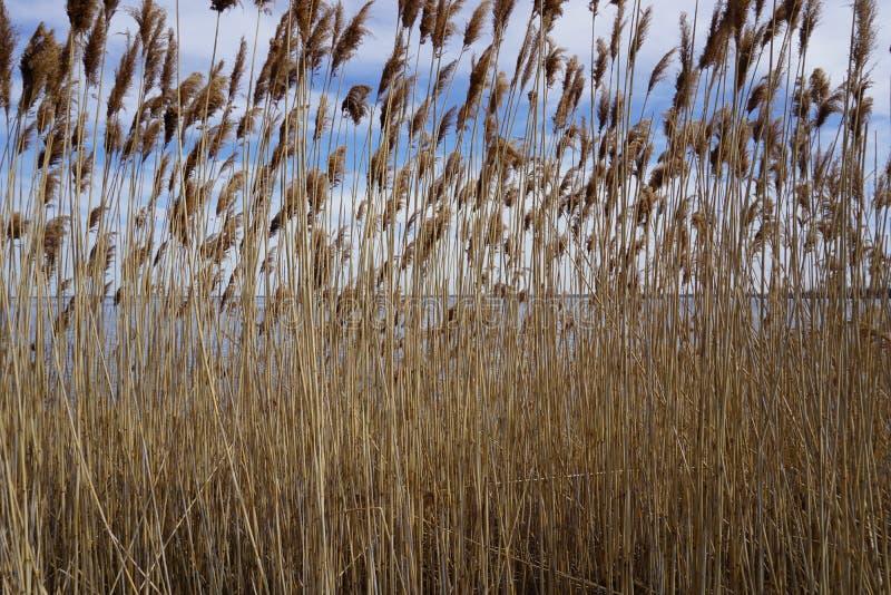 Reeds on riverside stock photo