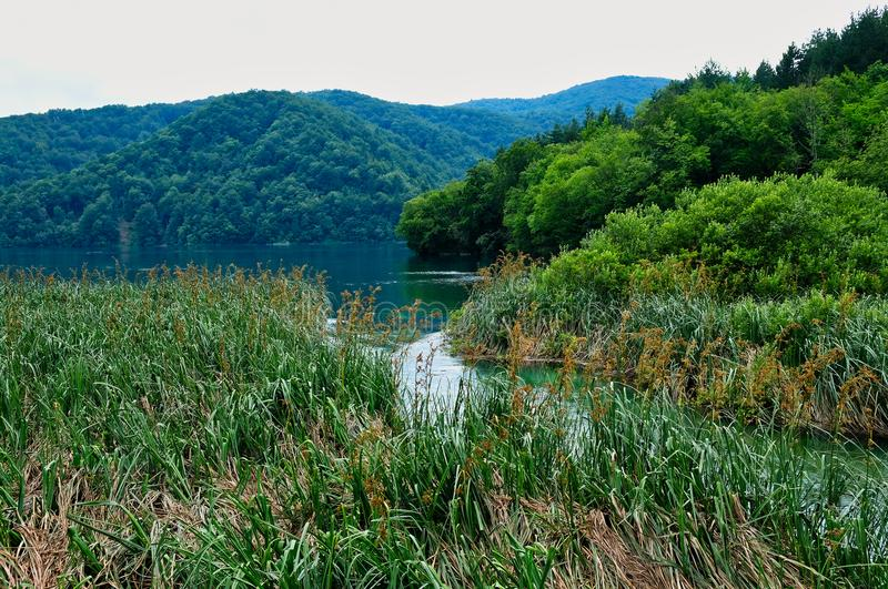 Reeds and Rushes Growing in Plitvice Lakes, Croatia. Dense water weeds, reeds and rushes, growing on the Plitvice Lakes, Plitvice National Park, Croatia stock images
