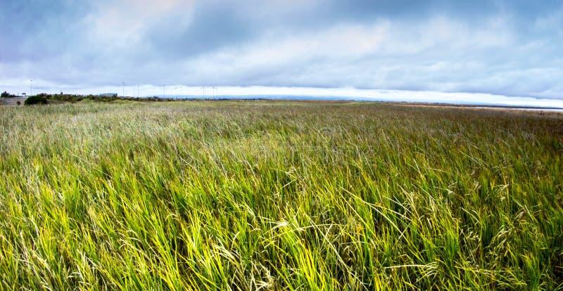 Download Reeds at Shoreline stock image. Image of plants, brown - 33577747