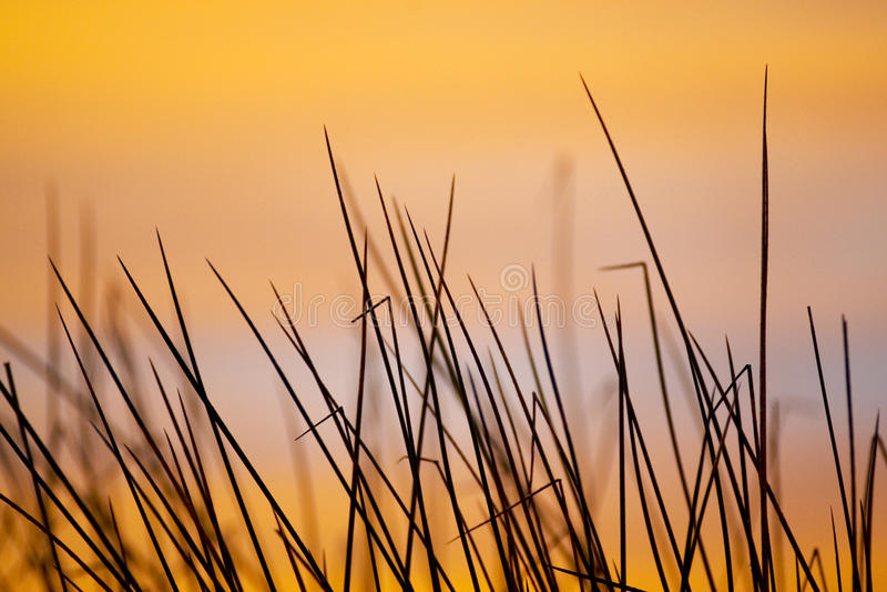 Reeds at sunrise royalty free stock image