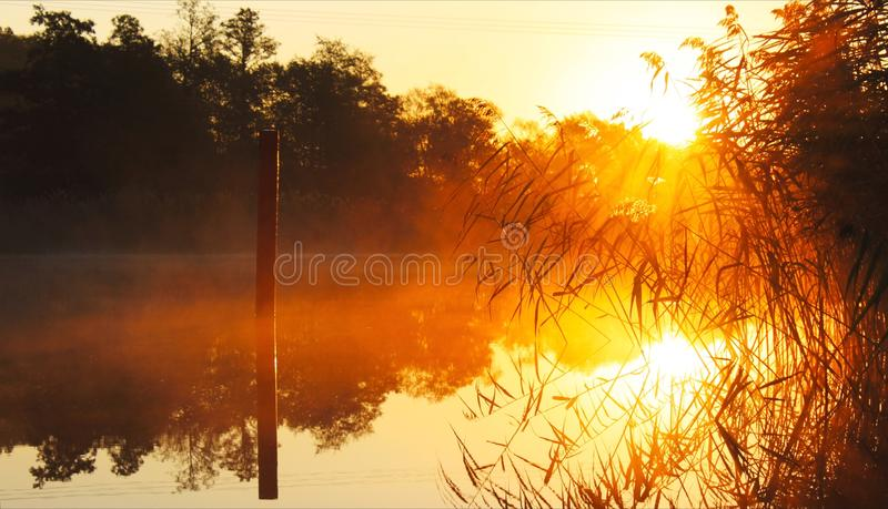 Reeds in the sunrise royalty free stock image