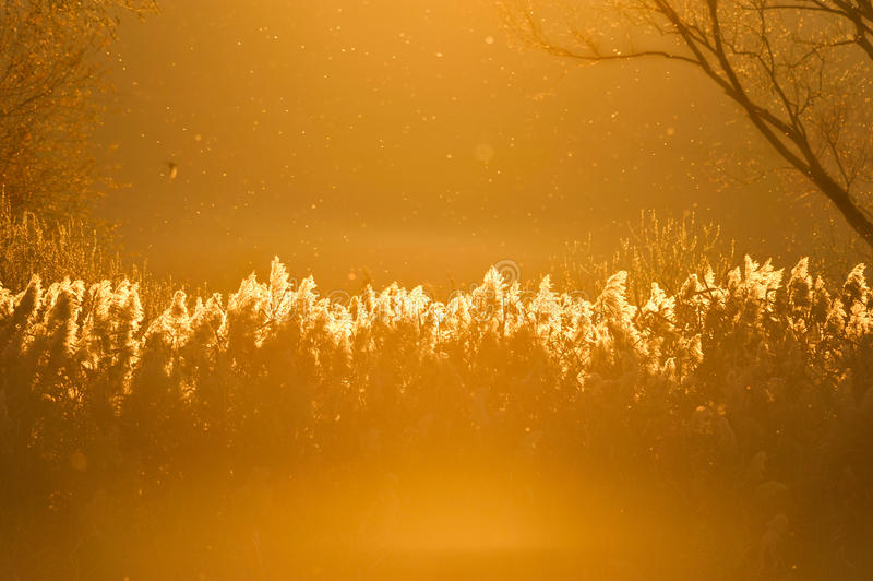 Download Reeds in the sunset stock image. Image of background - 16991539