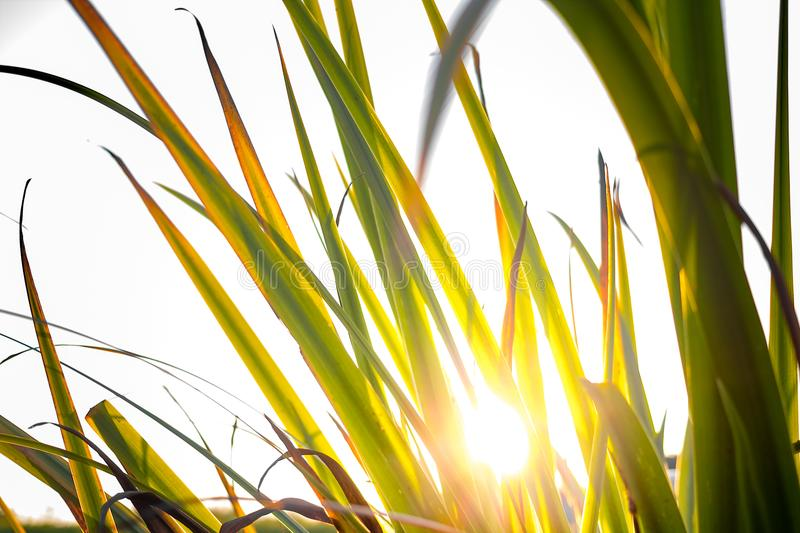 Reeds in sunset royalty free stock photography