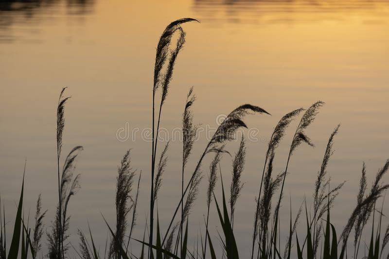 Reeds at sunset, silhouette stock images