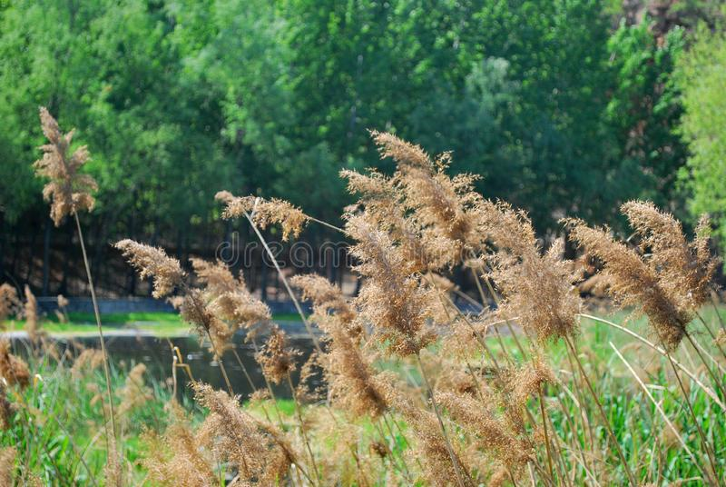 Reeds turned withered and yellow. Green summer, rolling river, thick forest and withered and yellow reeds. it`s a melodious picture stock image