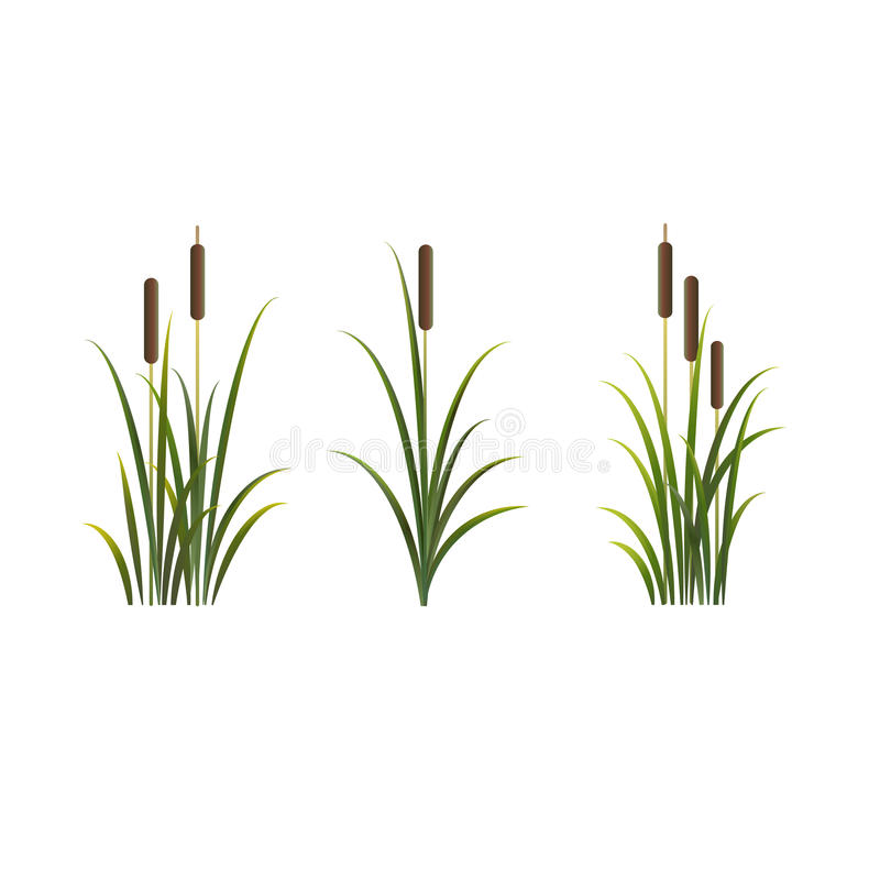 Reeds vector isolated set. Rush on white background royalty free stock image