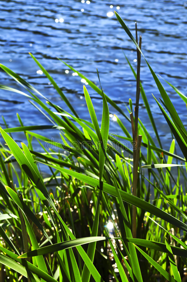 Download Reeds at water edge stock photo. Image of grass, plant - 5369144