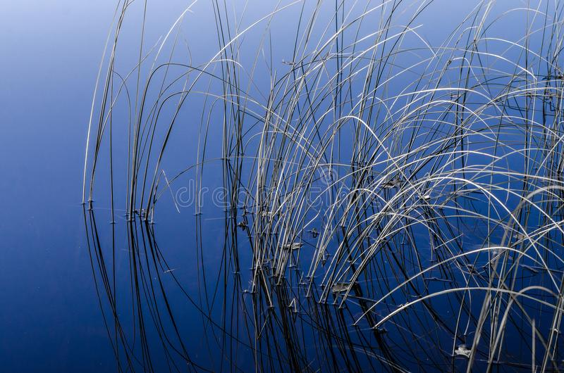 Reeds in water stock image