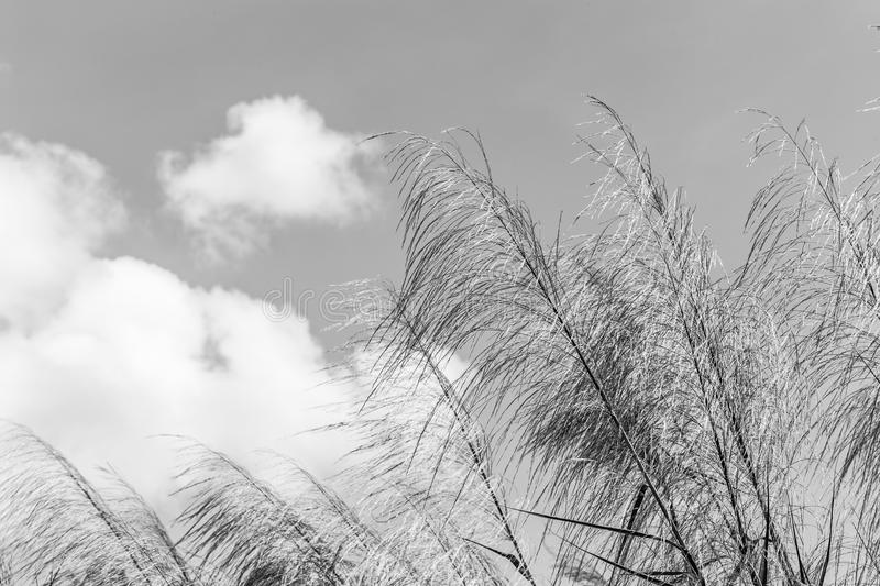 Reeds waving in the winds white and black.The Red grass. The Giant reed.The Great reed. stock photos