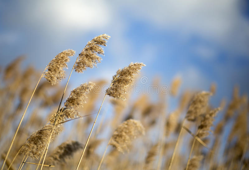 Reeds in the wind. Beautiful reeds in the blowing wind stock photography