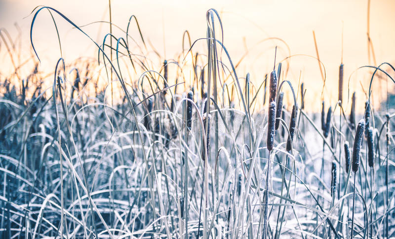 Reeds in winter frost and lake stock photo